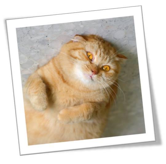kral kedi