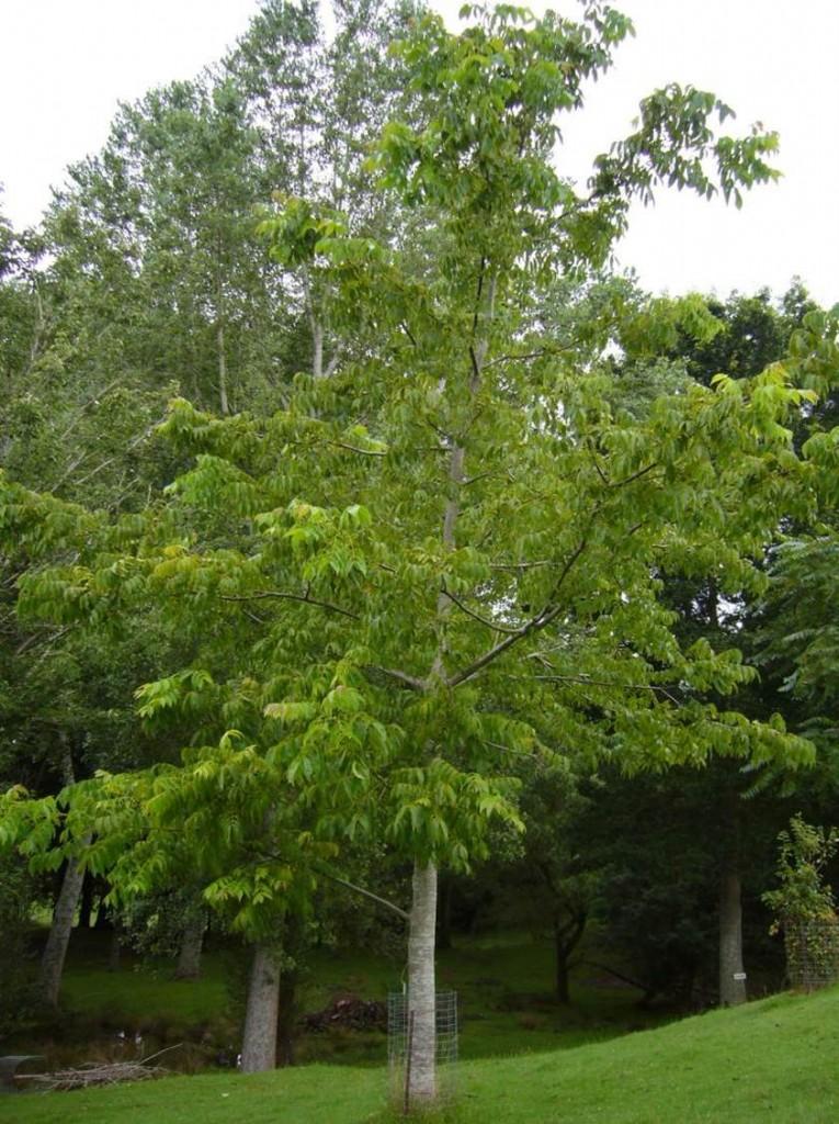 ceviz ağacı1