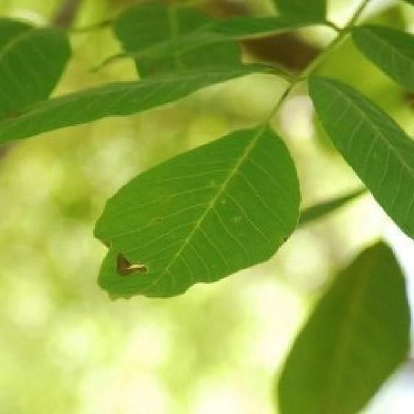 ceviz ağacı4