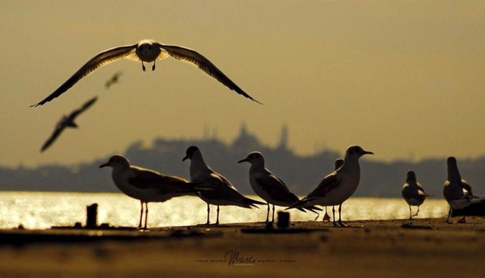 posta güvercini1